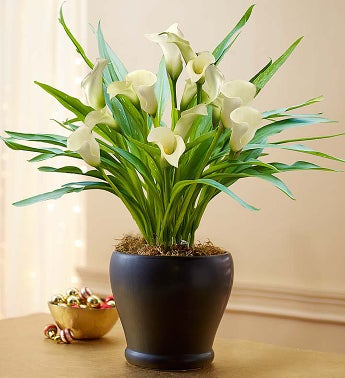 Sophisticated White Calla Lily