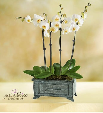 Asian Dance Orchid