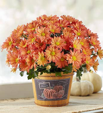 Pumpkin Patch Fall Mum