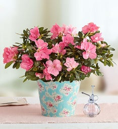 Pretty in Pink Azalea