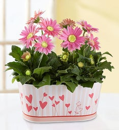 Love in Bloom Gerbera Daisies
