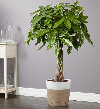 Money Tree Floor Plant